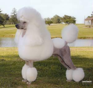 Avalon Standard Poodles